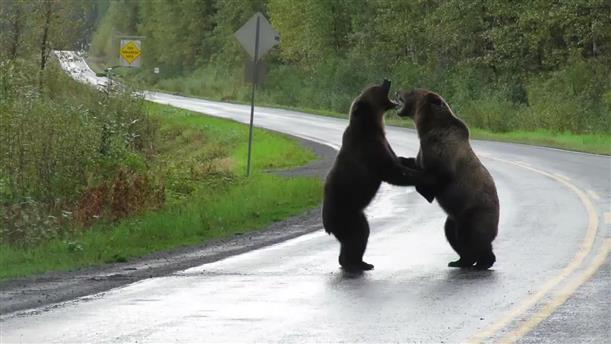 Δύο αρκούδες μάχονται στη μέση του δρόμου και κινούν την περιέργεια ενός.. σκύλου
