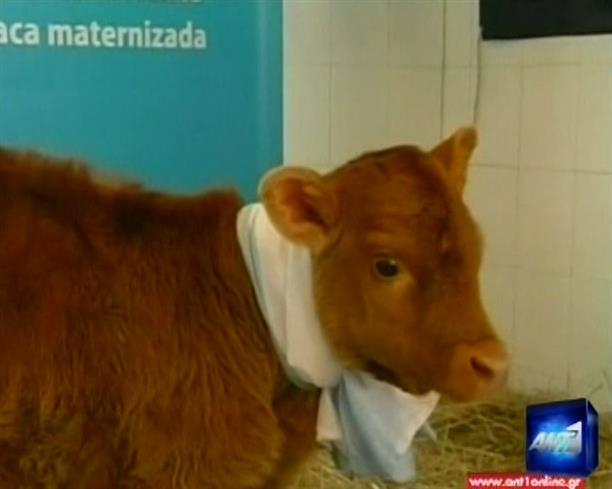 Αγελαδινό «ανθρώπινο» γάλα