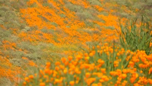 Όαση με παπαρούνες η Καλιφόρνια