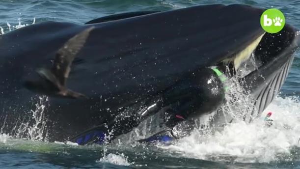 Τον κατάπιε φάλαινα αλλά κατάφερε να βγει από το στόμα της