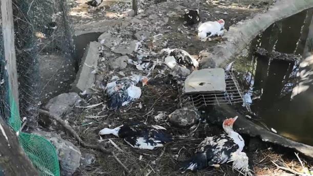 Σκότωσαν χηνόπαπιες στη Νάουσα