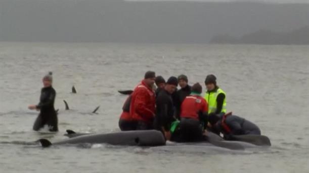 Αυστραλία: Διάσωση φαλαινών που παγιδεύτηκαν σε ρηχά νερά