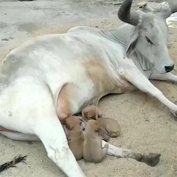 """Αγελάδα """"υιοθέτησε""""… σκυλάκια"""