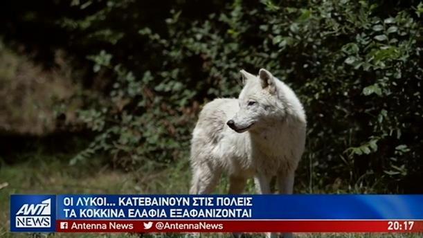 Ανησυχία στην Αττική από τις αγέλες λύκων που αναζητούν τροφή