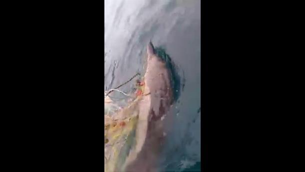 Ψαράδες έσωσαν δελφίνι που μπλέχτηκε σε δίχτυα