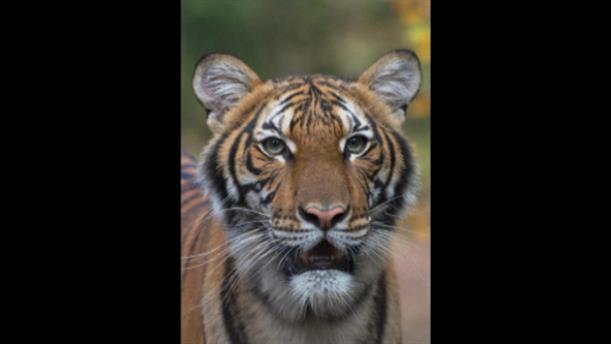 Τίγρης διαγνώσθηκε θετική στον κορονοϊό σε ζωολογικό κήπο στη Νέα Υόρκη