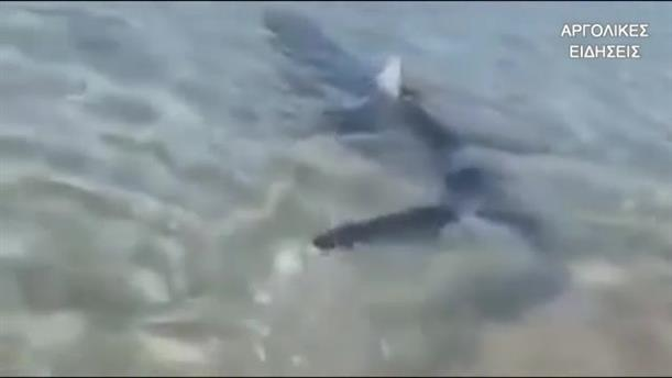 Καρχαρίας εμφανίστηκε στο Ναύπλιο