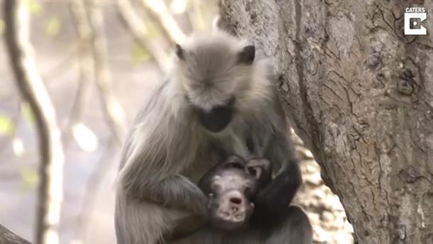Ινδία: Μαμά πίθηκος δεν εγκαταλείπει το νεκρό μωρό της