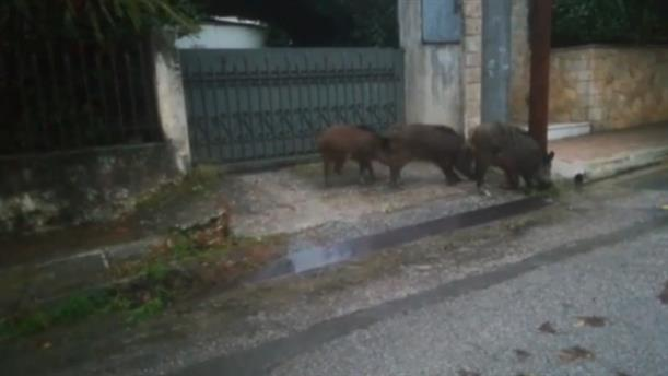 Αγριογούρουνα κάνουν βόλτα έξω από σπίτια στη Ραφήνα