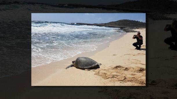Βρήκαν σπάνια πράσινη χελώνα στην Αρούμπα