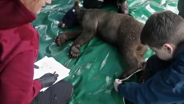 Επιχείρηση επανένταξης στο φυσικό περιβάλλον πέντε ορφανών αρκούδων