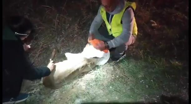 Καστοριά: Τραυματίστηκε σε τροχαίο ζαρκάδι που κυοφορούσε
