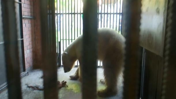 Βρέθηκε εξουθενωμένη η πολική αρκούδα που… έκοβε βόλτες σε πόλη