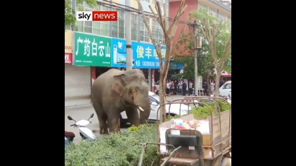 Ελέφαντας βγήκε βόλτα σε δρόμο και προκάλεσε ζημιές σε αυτοκίνητα