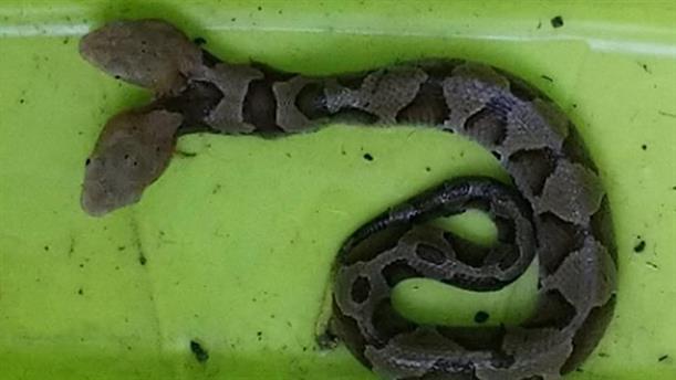 Ένα εξαιρετικά σπανιο δικέφαλο φίδι