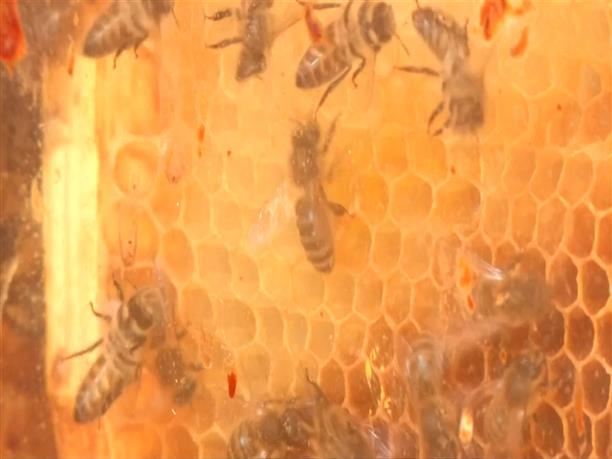 Η θεραπεία της...μέλισσας που κάνει πάταγο