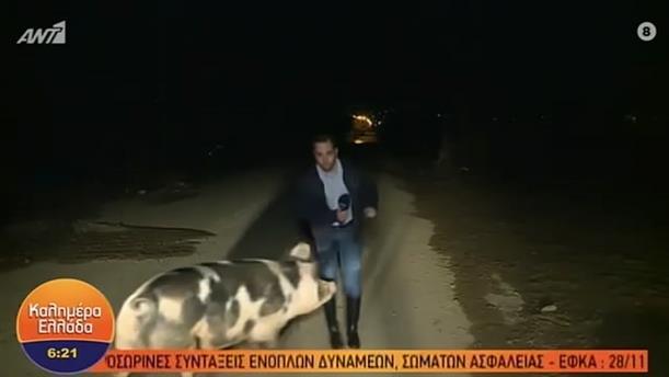 """""""Καλημέρα Ελλάδα"""": Viral το κυνηγητό του ρεπόρτερ από το γουρούνι"""