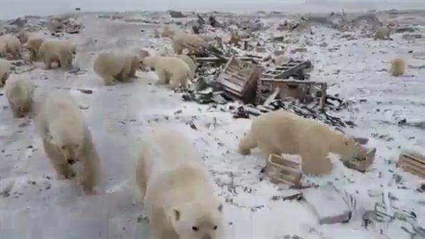 «Εισβολή» πολικών αρκούδων σε ρωσικές πόλεις