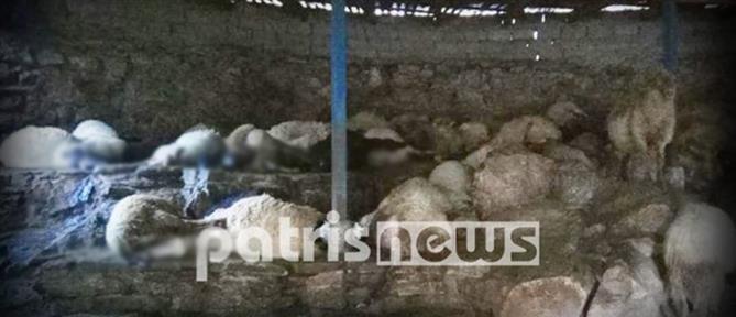 Κάηκε ενα κοπάδι πρόβατα μετά από φωτιά σε στάβλο (εικόνες)
