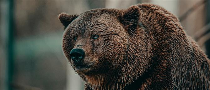 Φλώρινα: αρκούδα νεκρή από σφαίρες