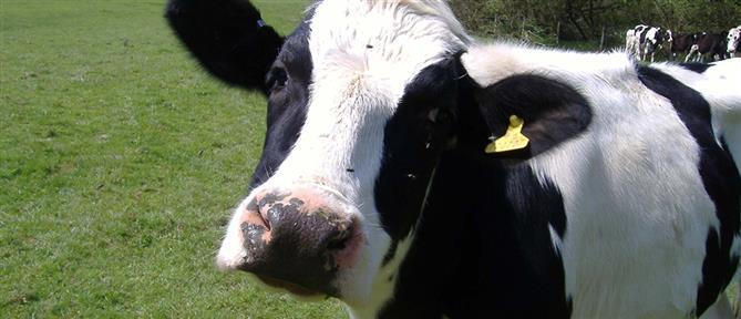 Χειροπέδες σε κτηνοτρόφο για τραύμα σε αγελάδα