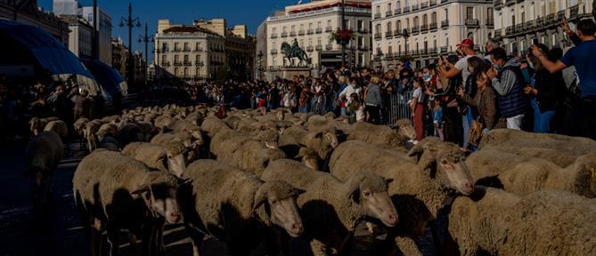 Μαδρίτη: Με πρόβατα γέμισαν οι δρόμοι (εικόνες)
