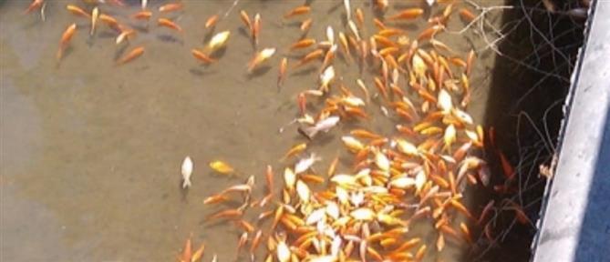 Εκατοντάδες νεκρά ψάρια στο Φράγμα Αποσελέμη (εικόνες)