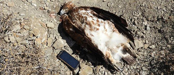 Κρήτη: Χρυσαετός νεκρός μετά από πυροβολισμό!