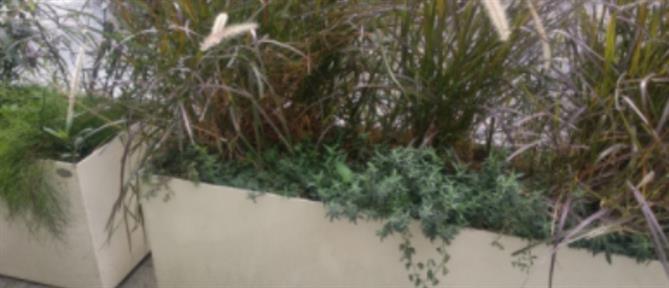 Μεγάλος Περίπατος: Φύτεψαν κάνναβη στις ζαρντινιέρες της Πανεπιστημίου (εικόνες)